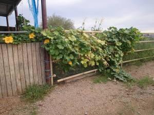 vinesovercorralfence